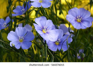 Blue flowers of decorative linum austriacum and its runaways on a difficult background./Flax flowers.