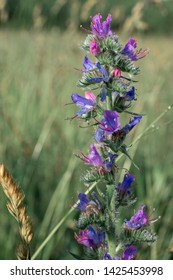 Blue flowers of Echium vulgare (viper's bugloss or blueweed) with dew drops.