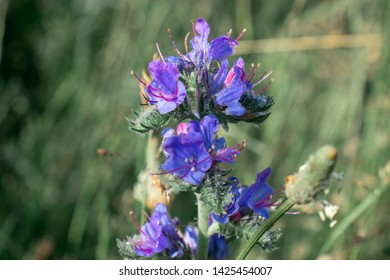 Blue flowers of Echium vulgare (viper's bugloss or blueweed) with dew drops; honey plant
