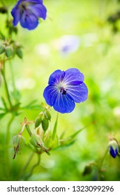 Blue flowers of the field. Shallow depth of field