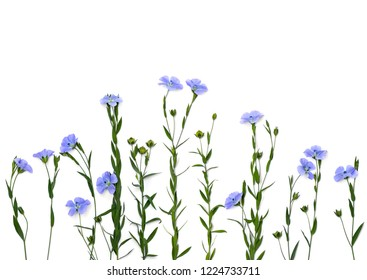 Blue flowers flax and capsule with seed flax ( Linum usitatissimum, linseed ) on a white background with space for text. Top view, flat lay