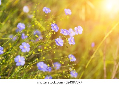 blue flowers of flax lit with the bright summer sun