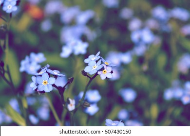 blue flowers forget-me-in the field, toning, space for text
