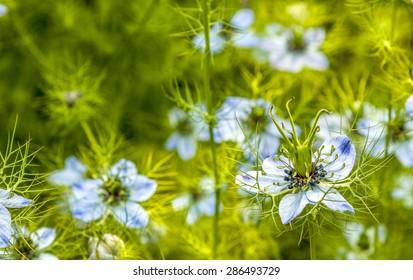 Blue flowers in green field