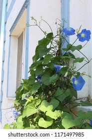 Blue flowers growing in front of a mediterranean blue and white house wall on the island Bozcaada in Turkey.