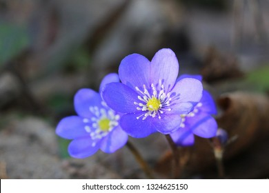 Blue flowers of Hepatica Nobilis also Common Hepatica, liverwort, kidneywort, pennywort, Anemone hepatica.
