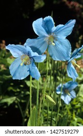 Blue flowers of himalayan blue poppy