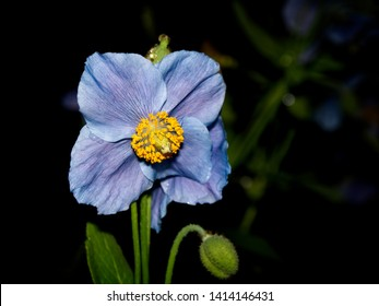 Blue flowers of Himalayan blue Tibet Poppy (Meconopsis betonicifolia)
