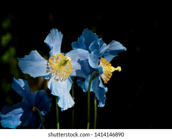 Blue flowers of Himalayan blue Tibet Poppy