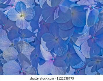 Blue flowers of Hydrangea serrata in early summer close up. Beatiful background.