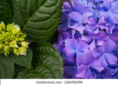 Blue flowers of Hydrangea serrata in early summer close up and green leaf