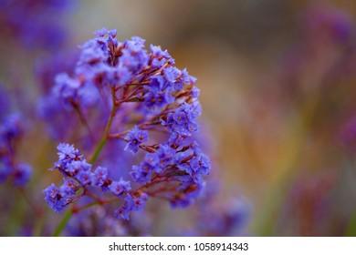 blue flowers of Limonium natural macro background