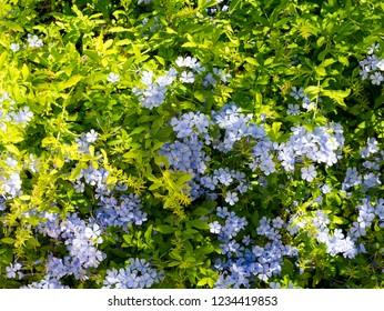 Blue flowers Lobelia.