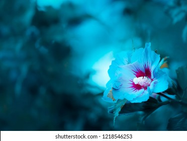 Blue Flowers - Macro of Blue Hibiscus or Marshmallow (Hibiscus)