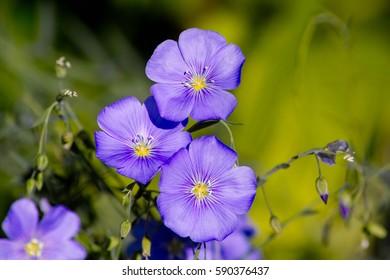 Blue flowers of perennial blue Flax Alpine flax (Linum perenne)