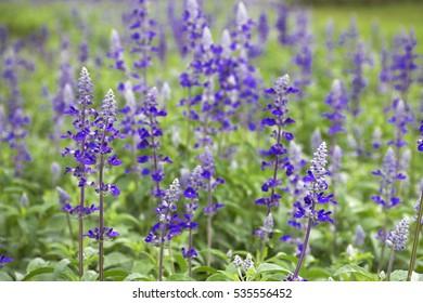 Blue flowers [blue salvia]