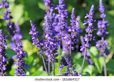Blue flowers of Salvia in the Park