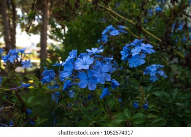 blue flowers in Sardinia in autumn