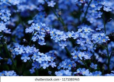 Blue flowers in spring