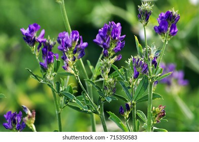 Blue flowers, stems and leaves of valuable forage crops of alfalfa