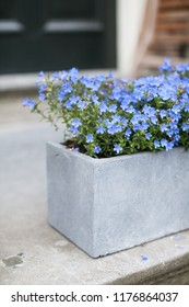 Blue flowers Trailing Lobelia Sapphire flowers (or Edging Lobelia, Garden Lobelia). Latin name Lobelia Erinus.
