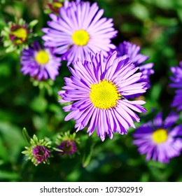 The Alpine Aster Aster Alpinus Decorative Garden Plant With Blue