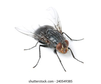 blue fly on white background