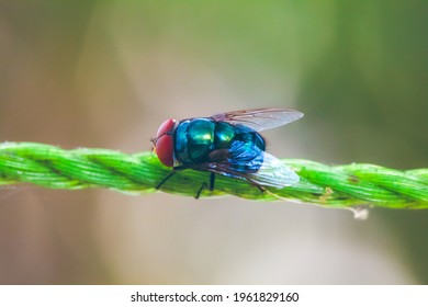 Blue fly siting on the rope in green background. Macro photography. Insect stock photo.