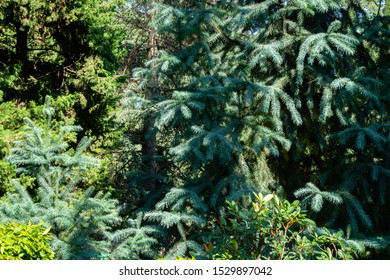 Blue foliage of Chinese Fir Tree (Cunninghamia lanceolata 'Glauca'). Background or Texture of leaves in Park Aivazovsky or Paradise in Pertenit, Crimea.