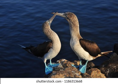 Blue footed boobies on the island of San Cristobal, Galapagos, Ecuador