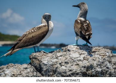 Blue Footed Boobies on rocks