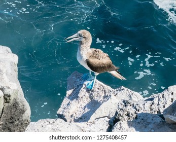 Blue footed booby (bird) in the Galapagos Ecuador