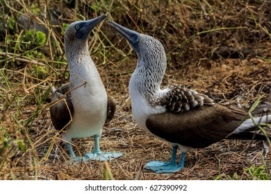 Blue footed booby couple in the Galapagos Islands