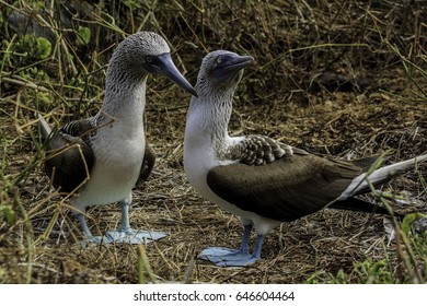 Blue footed booby couple at Galapagos National Park