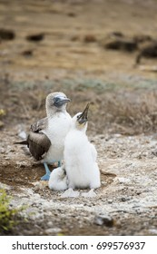 Blue footed booby family, Galapagos Islands