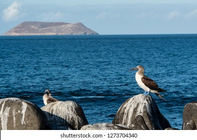 Blue footed booby in front of Daphne Island