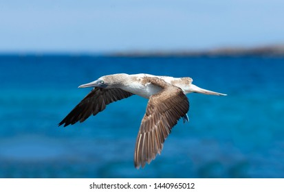 Blue footed booby, Galapagos Island