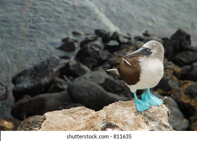 Blue Footed Booby (horizontal)