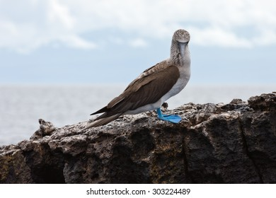 Blue footed booby looking down. Selective focus on the bird, background is out of focus