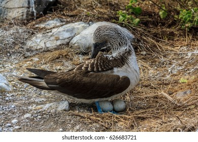 Blue footed booby mother nesting its eggs