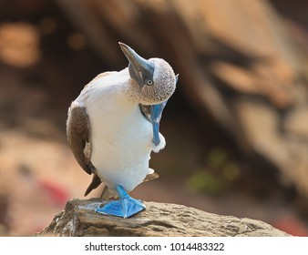 Blue footed booby with nice feet coloring scratching head while standing on one leg.  On san cristobal in the galapagos islands.
