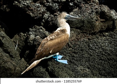 Blue Footed Booby in Profile on Rocks in the Galapagos Islands (Ecuador)