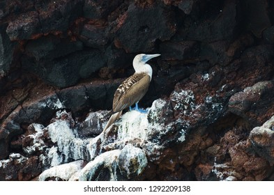 A blue footed booby sits on lava rock formations on the island of Santa Fe in the Galapagos