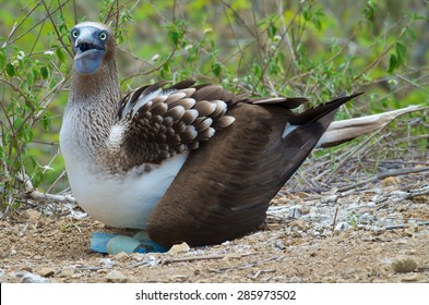 Blue footed Booby sitting on eggs, side profile