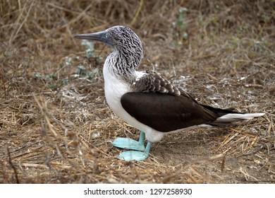 Blue footed booby (Sula nebouxii) on Isla de la Plata, off the coast of Puerto Lopez, Ecuador