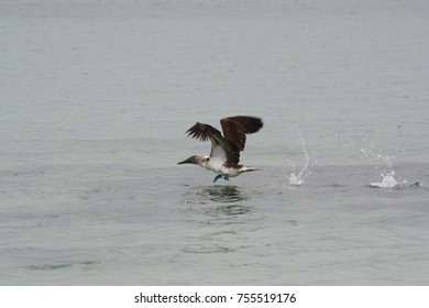 blue footed booby take off 3/5