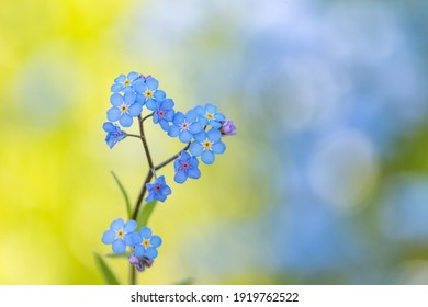 blue forget-me-not flower close-up macro
