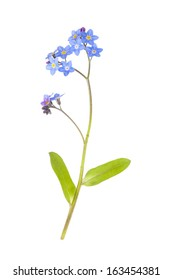 Blue Forget-me-not Flower isolated on white background with shallow depth of field