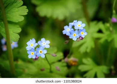 Blue forget-me-not flowers on green background