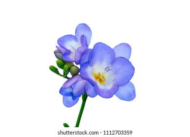 Blue freesias blooms against white background